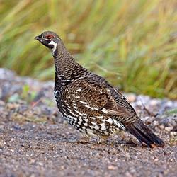 bird_grouse
