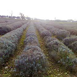 Photo Credit: Mary Hillary Some wonder whether our fascination with essential oils is so good for the planet, given that it can take hundreds if not thousands of pounds of plant material to make just one pound of an oil. Pictured: A lavender field at the Norfolk Lavender farm and nursery and distillery in Heacham, Norfolk, England.