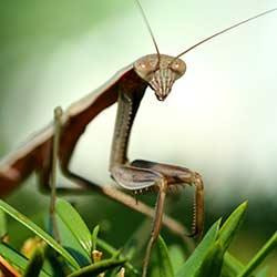 insect-praying-mantis