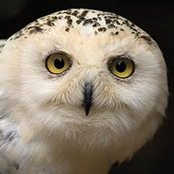 owl-snowy