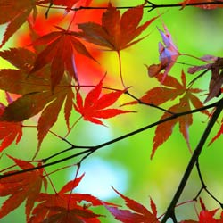 leaves_red_maple